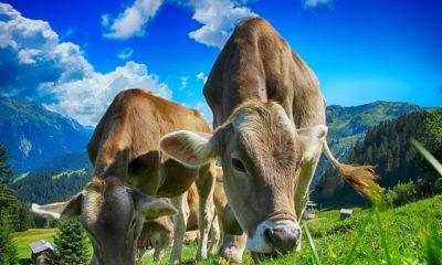 cow feeding grass
