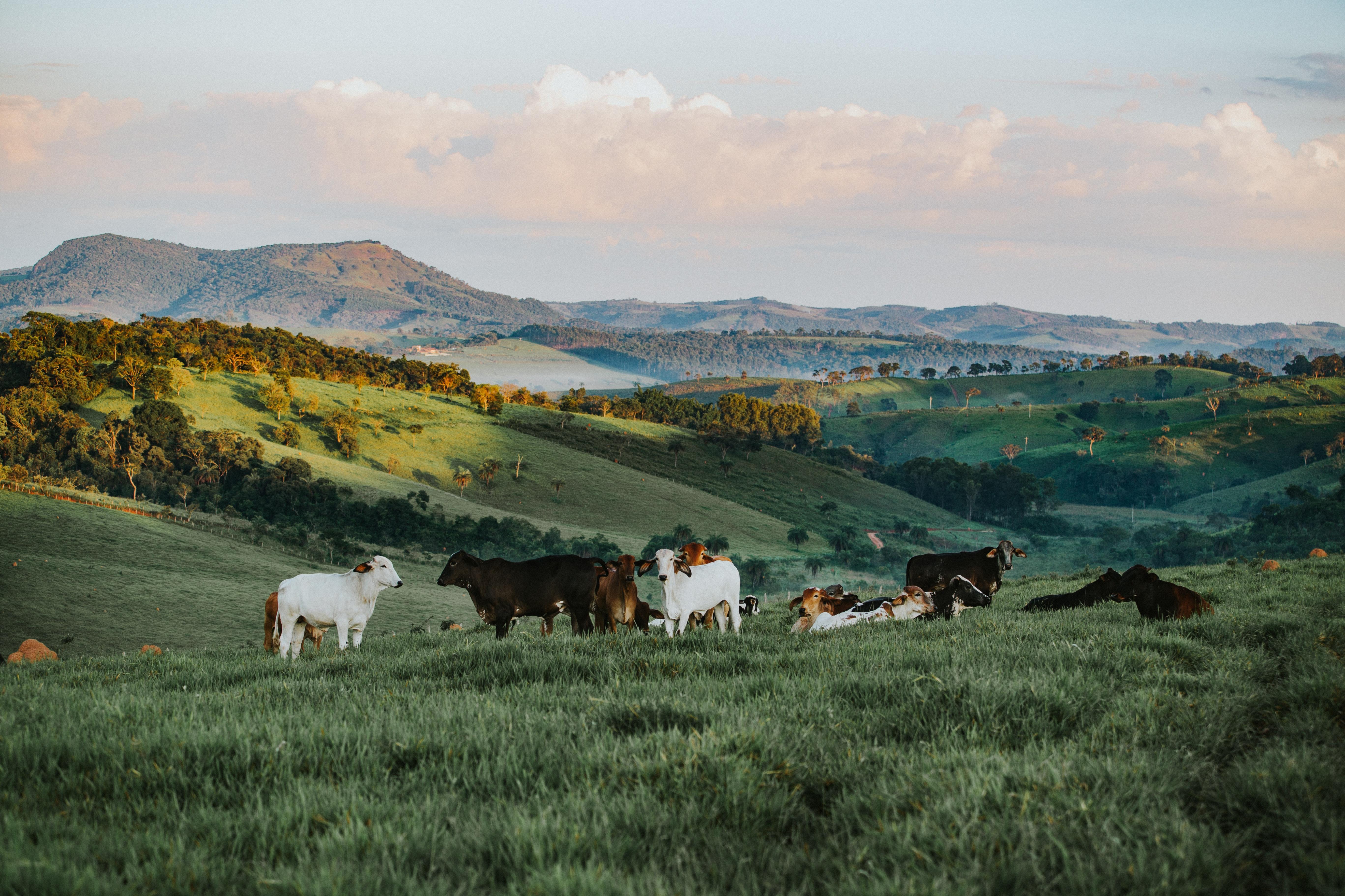 Bull cattle