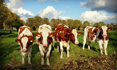 Europian Dairy cow