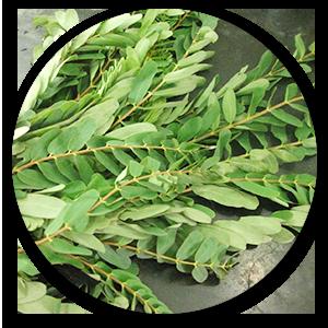 agathi tree