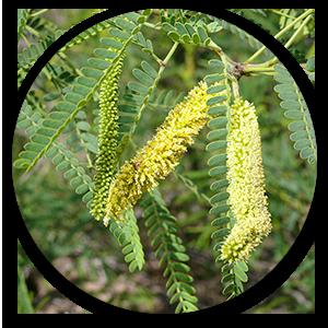 karuvel leaves