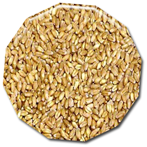 wheat cattle feed