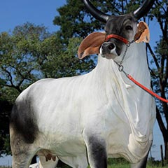 Brazil cow from India