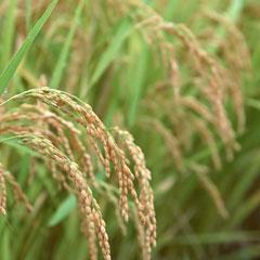 Paddy plant